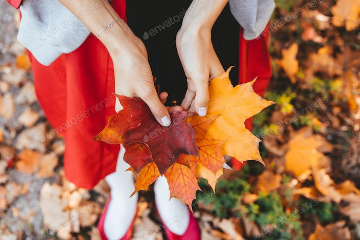 Closeup of girl's hands holding autumn maple tree leaves