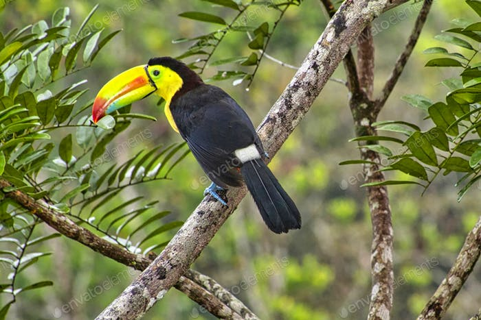 Keel-billed Toucan, Tropical Rainforest, Costa Rica
