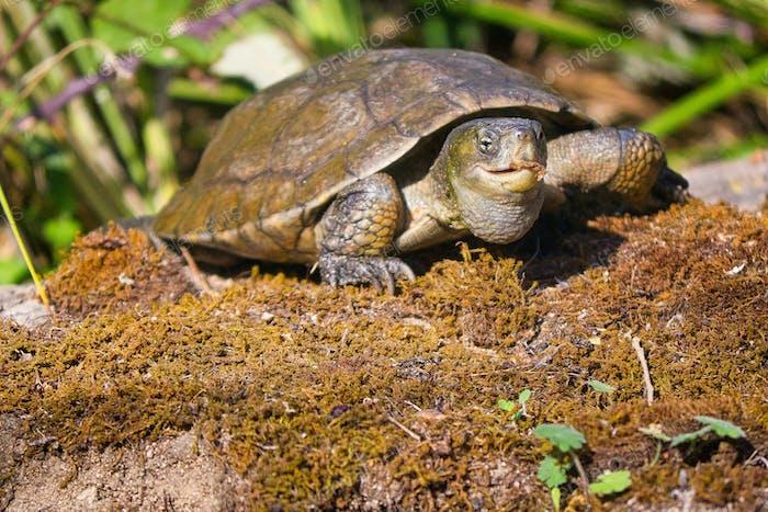 Mediterrane Teich Schildkröte, Monfragüe Nationalpark, Spanien