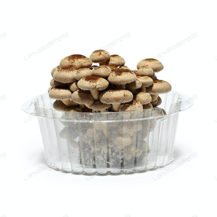 shiitake mushroom fungus bed cultivation