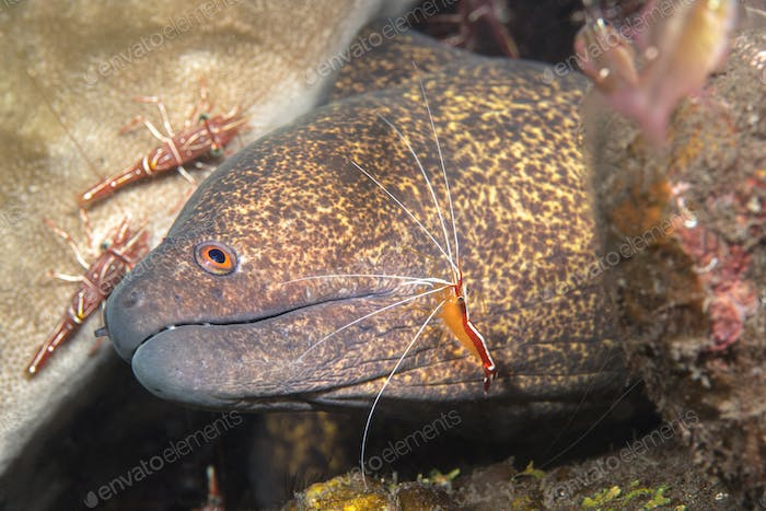 Java moray eel being cleaned by shrimp