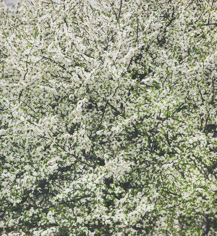 Blooming tree with white flowers, natural background or wallpaper