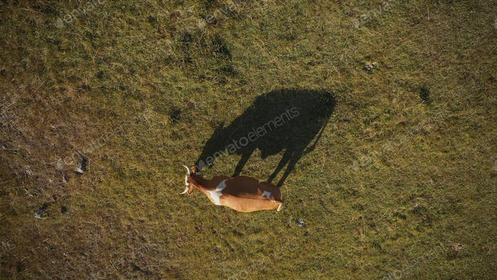 Top view aerial of cow grazing on pasture land