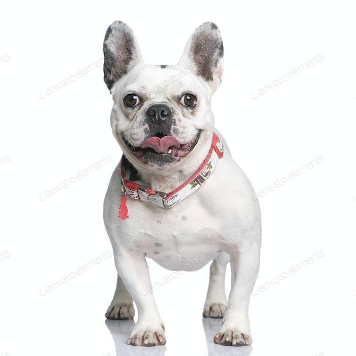 Französische Bulldogge, 3 Jahre alt, steht vor weißem Hintergrund, Studioaufnahme