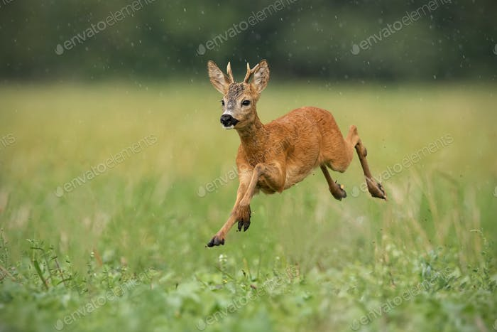 Young roe deer, capreolus capreolus, buck running fast in the summer rain