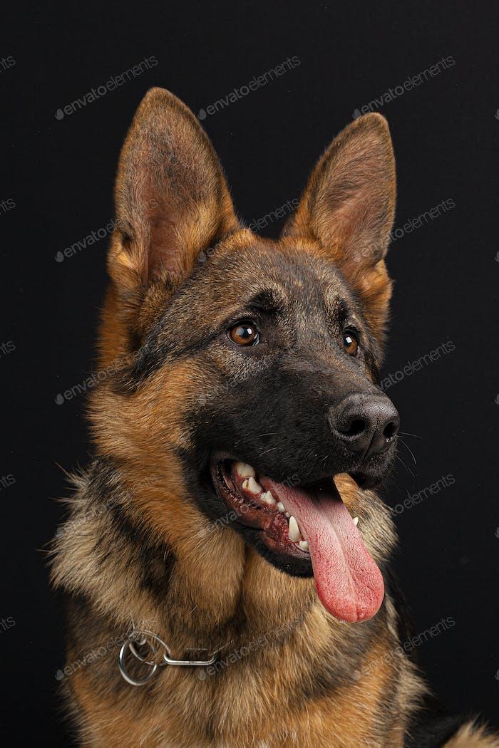 Deutscher Schäferhund Porträt auf schwarzem Hintergrund