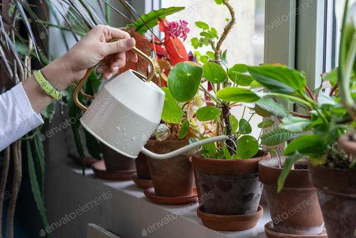 Woman gardener watering potted plant on windowsill in green house, close up. Hobby, home gardening