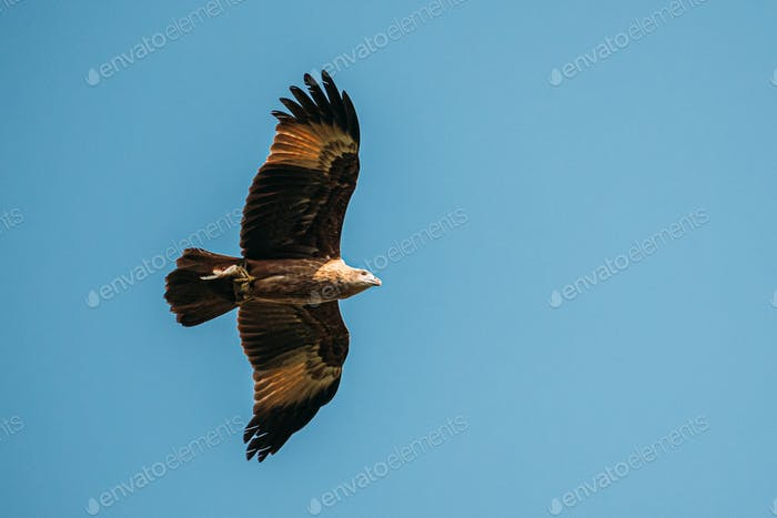 Goa, India. Brahminy Kite With Fish In Paws Flying In Blue Sky