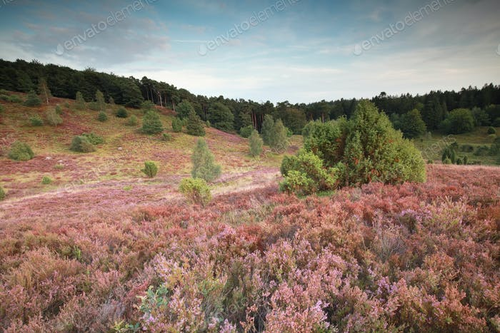 pink hills with flowering heather