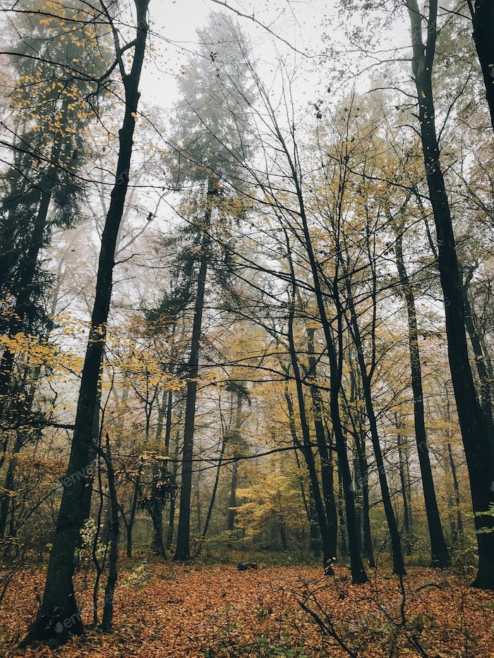 Autumn foggy woods with fall leaves in cold morning