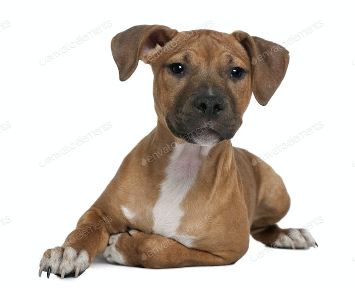 American Staffordshire terrier puppy, 4 months old, in front of white background