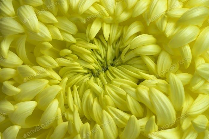 Herz eines gelben Chrysanthemen