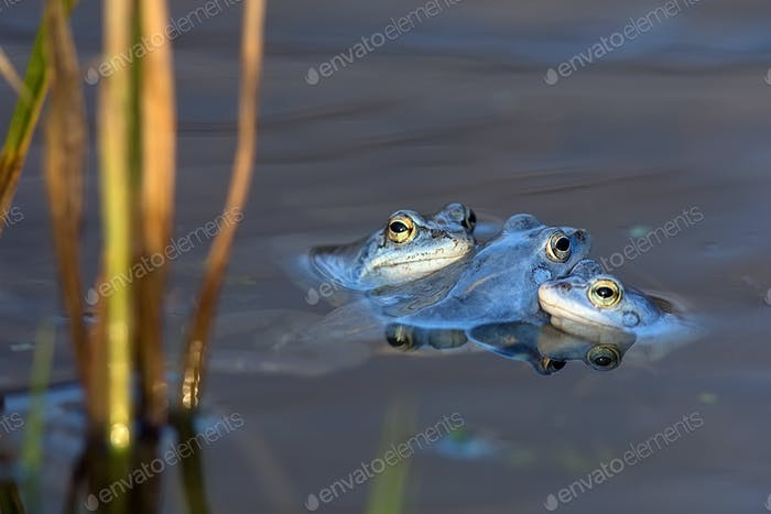 Moor frogs in the wild