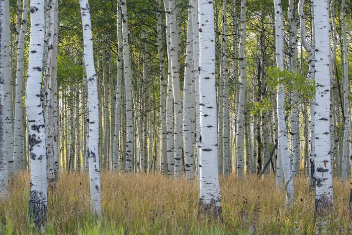 The tall straight trunks of trees in the forests with pale grey bark and green foliage.
