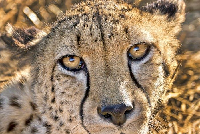 Cheetah, Wildlife Reserve, South Africa