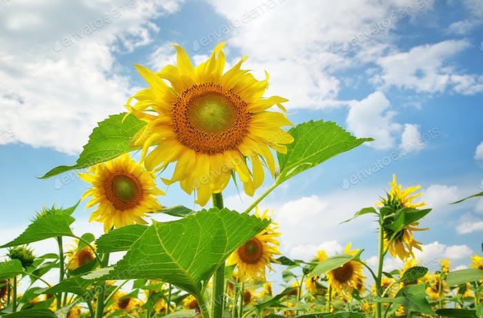 Sunflower on blue sky.