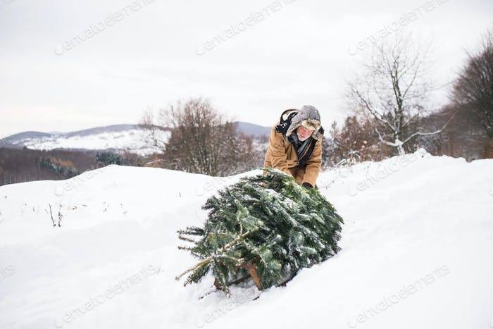 A senior man pulling a Christmas tree in forest.