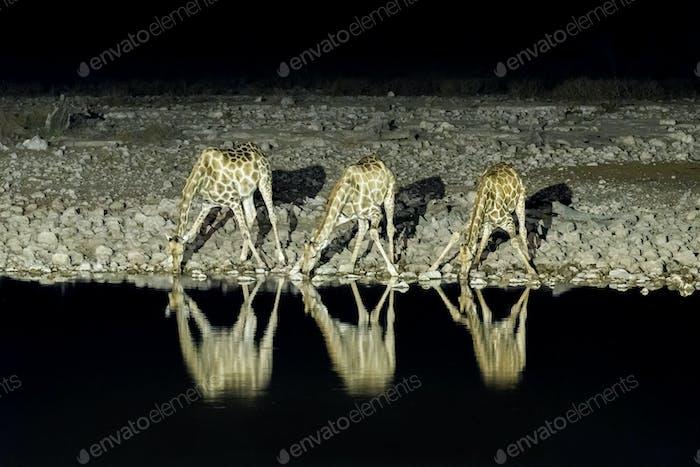 Namibian giraffes, drinking water at an artificially lit waterhole