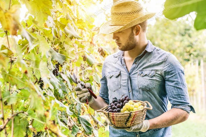 Young winemaker cutting grape twigs of biological San Giovese grape from Italy during harvest time