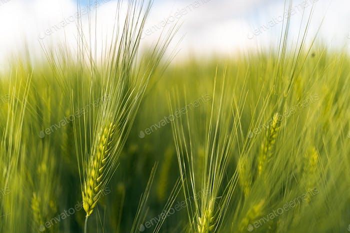 Grüner Weizen auf dem Feld im Frühjahr. Selektiver Fokus, flacher DOF Hintergrund.