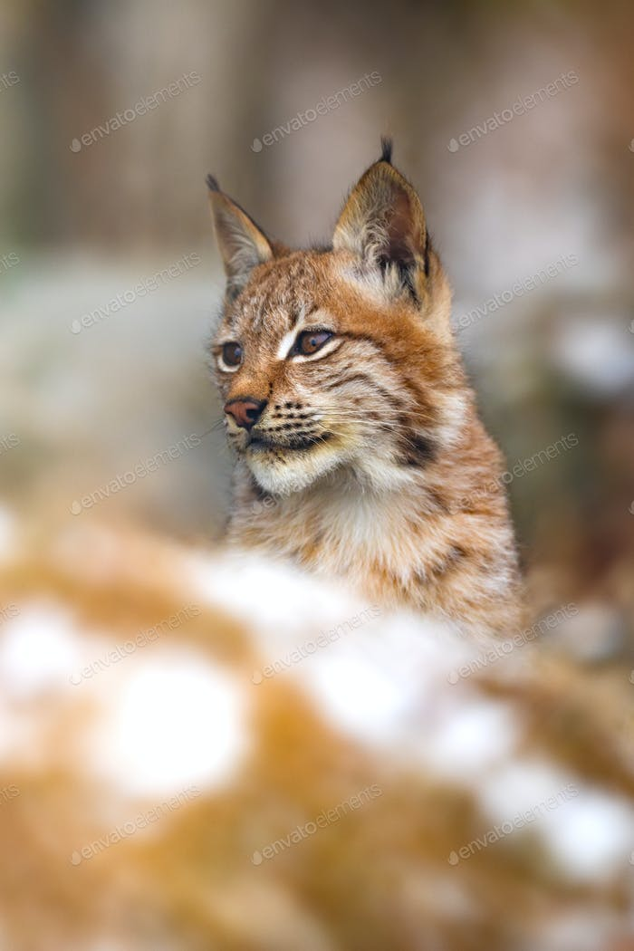 Close-up of eurasian lynx in the forest at winter looking for prey