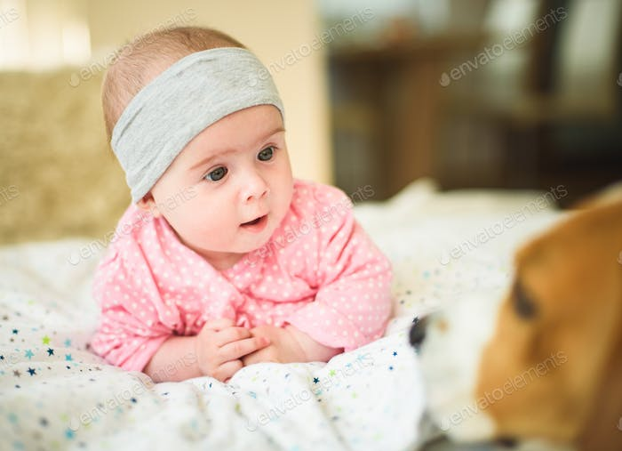 Cute 6 months old Baby girl infant on a bed on her belly with head up looking at beagle dog. Natural
