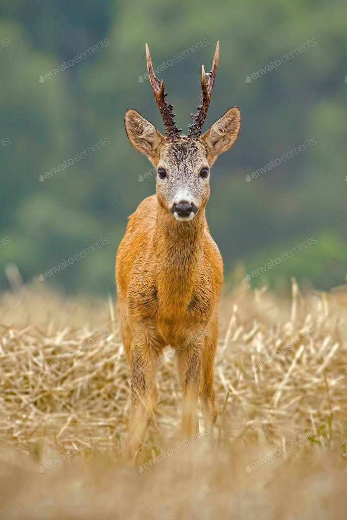 Roe Deer, Capreolus capreolus, buck with big antlers