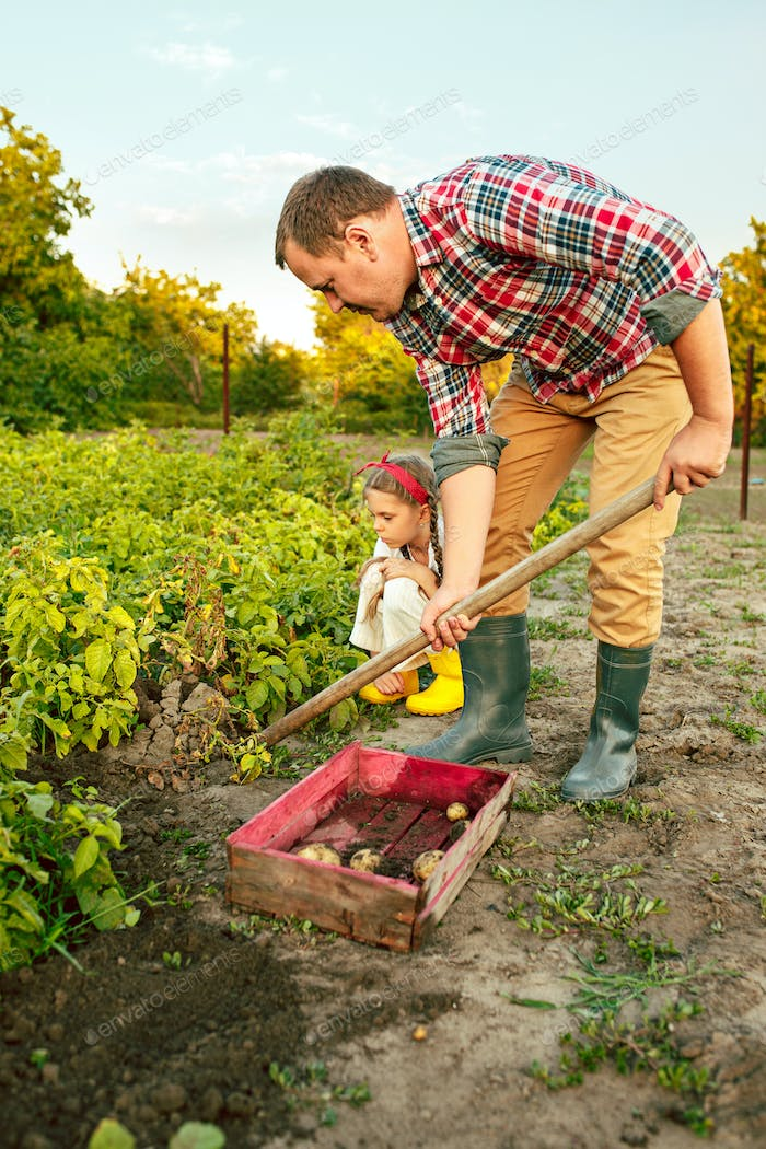 farming, gardening, agriculture and people concept - young man planting potatoes at garden or farm