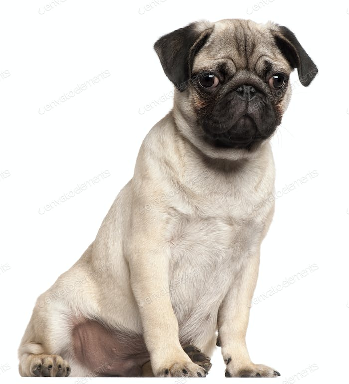 Pug puppy, 3 months old, sitting in front of white background