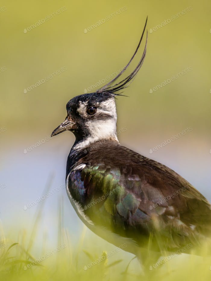 Vertical portrait of Northern lapwing in grassland habitat
