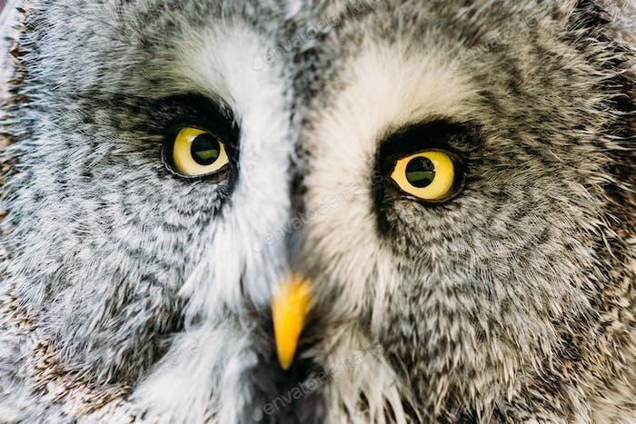 Cara y ojos de gran búho gris o gran búho gris. Stri