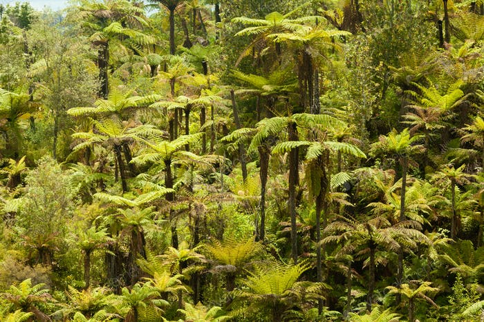 Endemic New Zealand tree fern forest wilderness