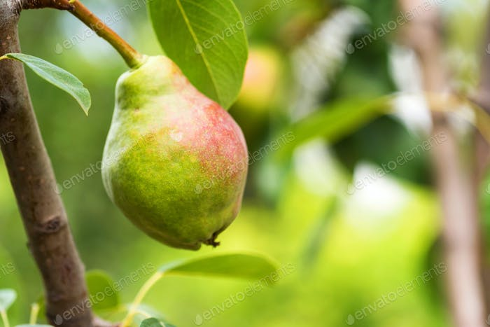 European pear or common pear on tree branch