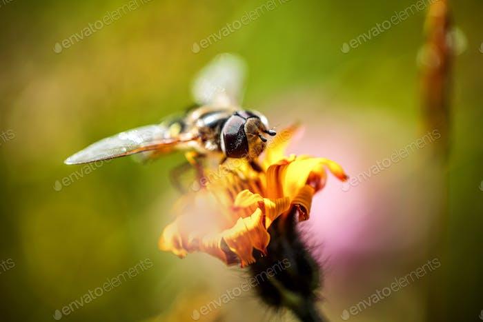 Wespe sammelt Nektar aus Blume crepis alpina