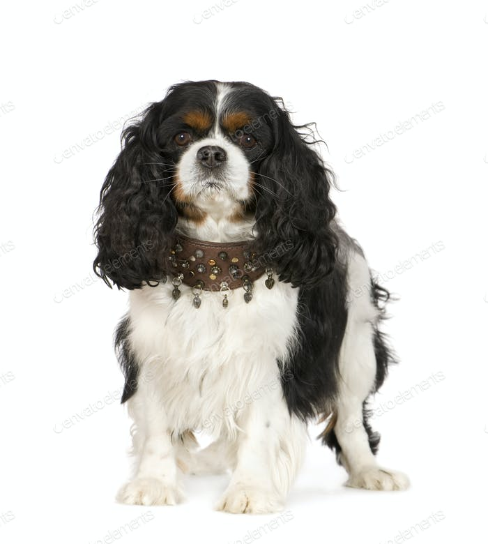 Kavalier König Charles Spaniel (6 Jahre)