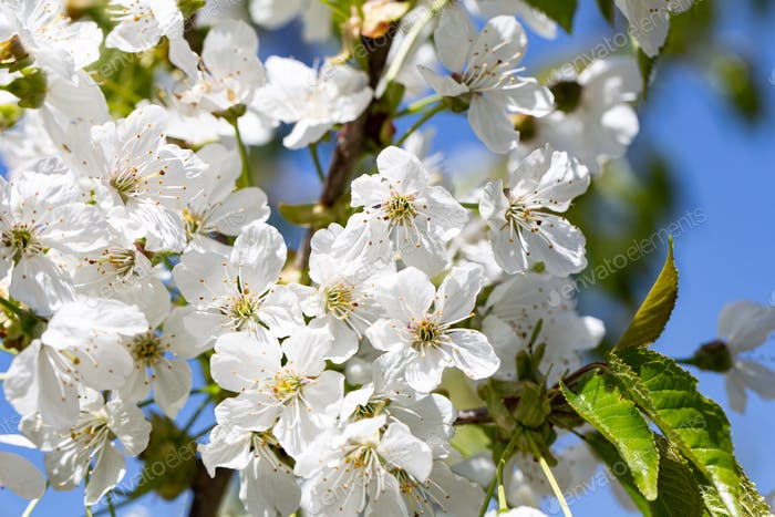 Close-up of flowers on a blooming apple tree.