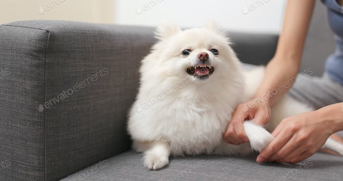Pomeranian dog feeling angry when touch her hand and finger