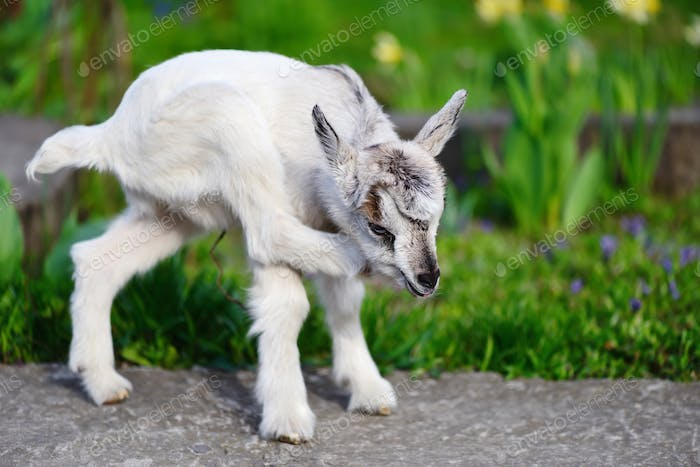White baby goat standing on green lawn on a sunny day