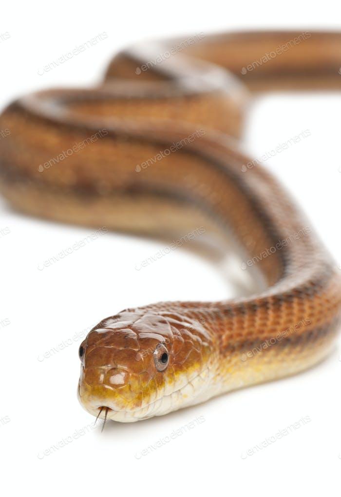 rat snake - elaphe obsoleta (4 years old)