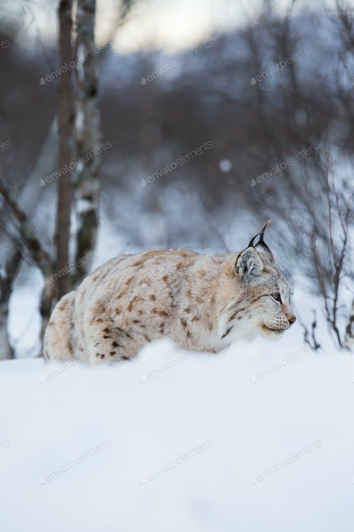 Luchs schleicht sich in Winterlandschaft