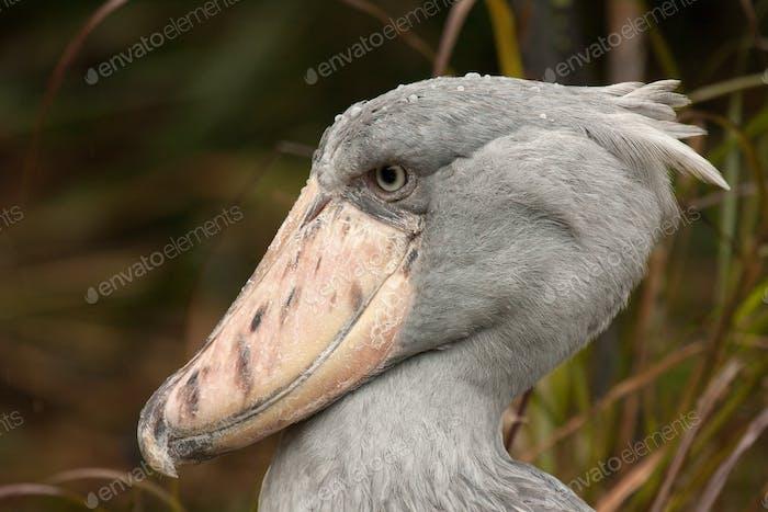 Portrait of Shoebill (Balaeniceps rex)