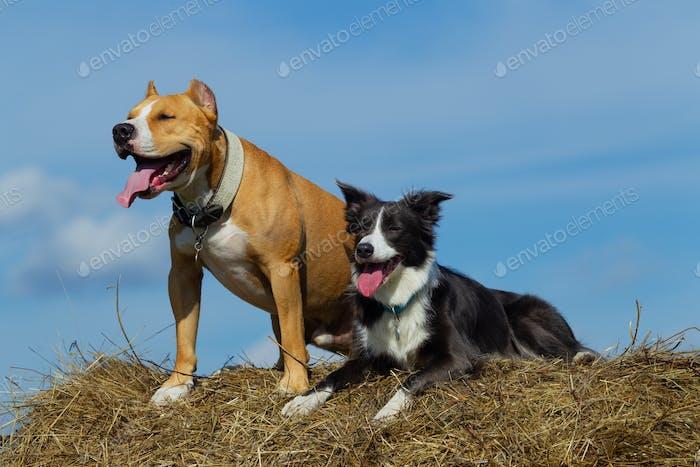 Hunde im Heu. Border Collie und Staffordshire Terrier auf Heurollen