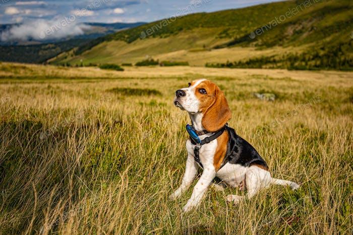 Portrait of a beagle puppy
