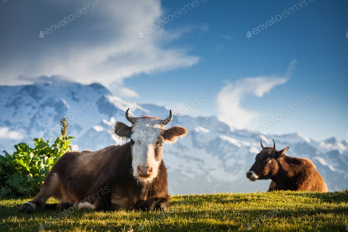 Cows resting on alpine hills in sun beams