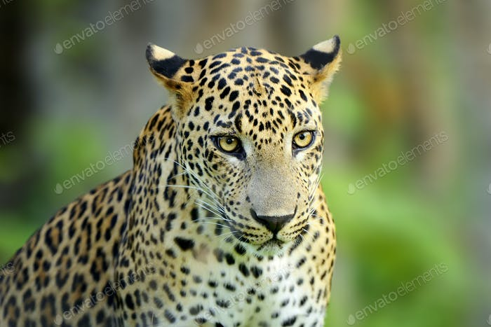 Walking Sri Lankan leopard, Big spotted wild cat lying in the na