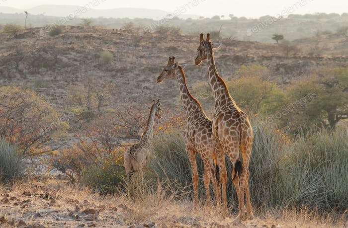 Pair of giraffes walking free