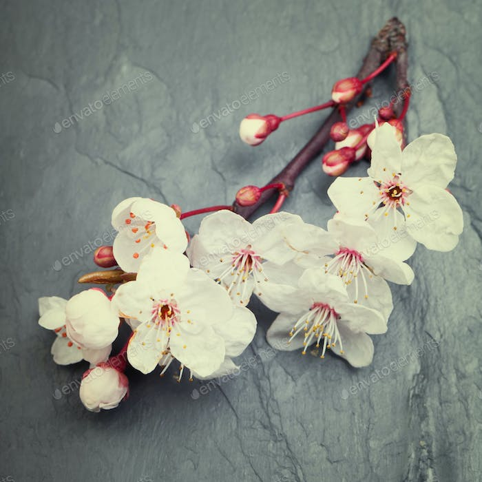 Beautifull spring cherry blossom flowers on a dark tile slate b