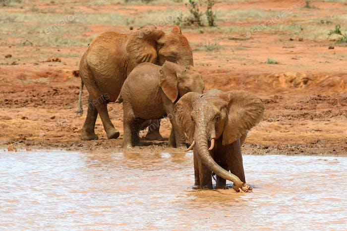 Elephant in lake. National park of Kenya