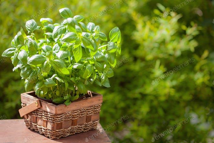 fresh basil herb in garden