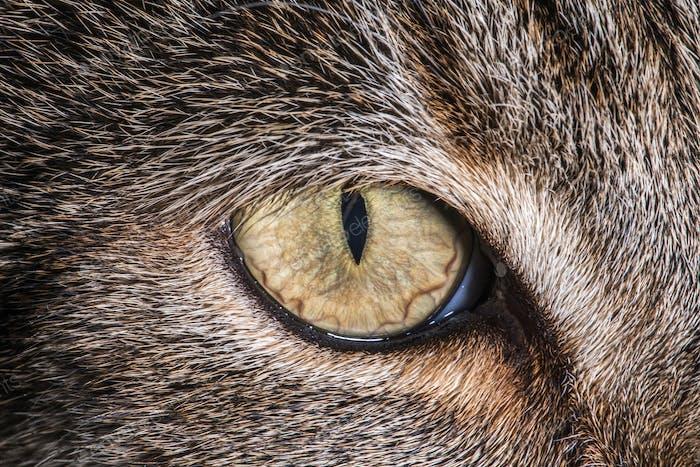 Domestic House Cat Eye Macro Close Up